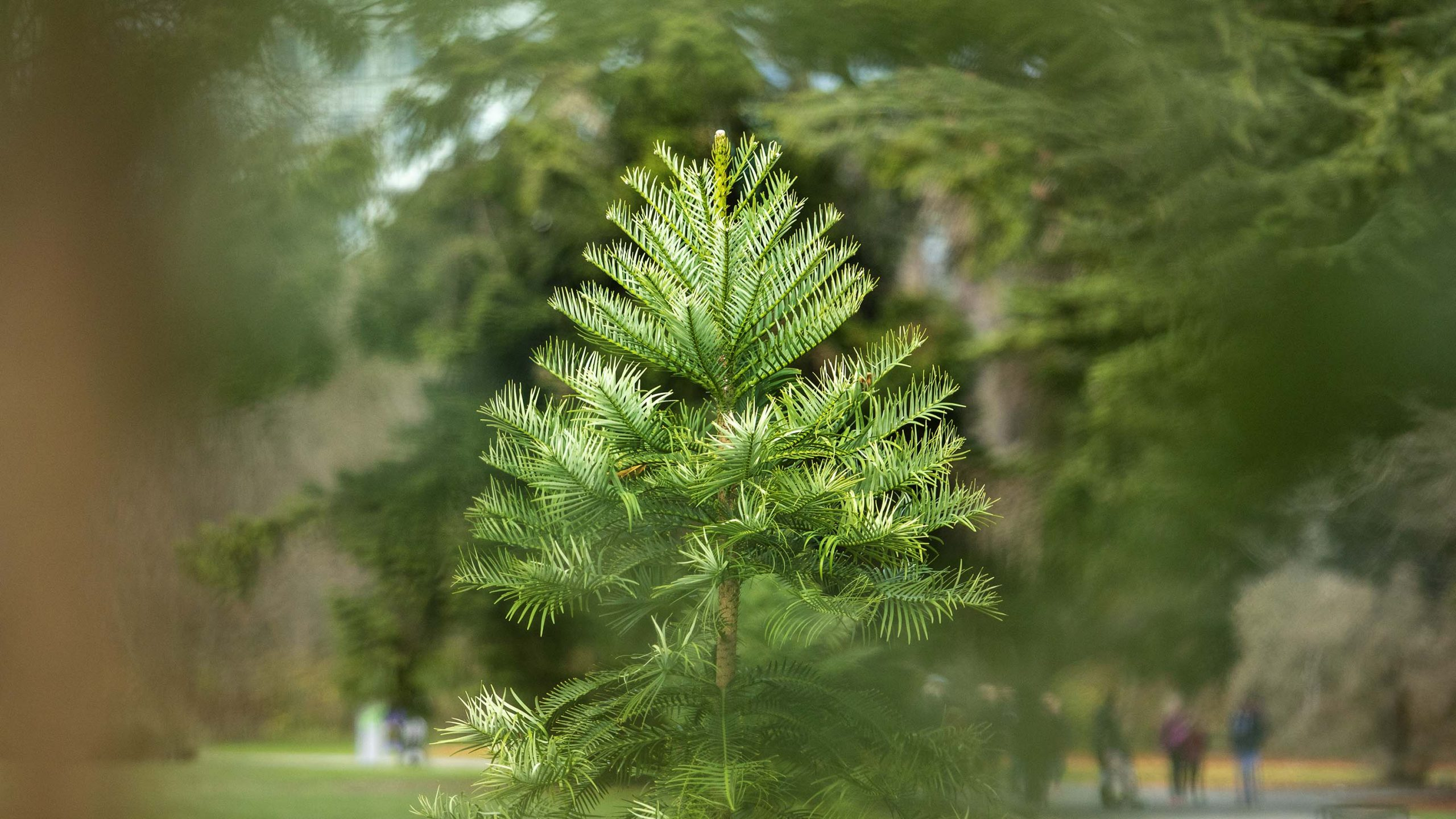 Rare conifers on show in Botanic Gardens