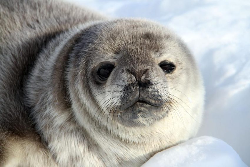 One size does not fit all in Antarctica: climate change to impact seal species differently